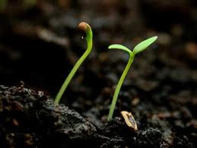 Seedling Grows