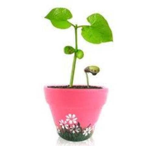 Bean Plant Grows Tall