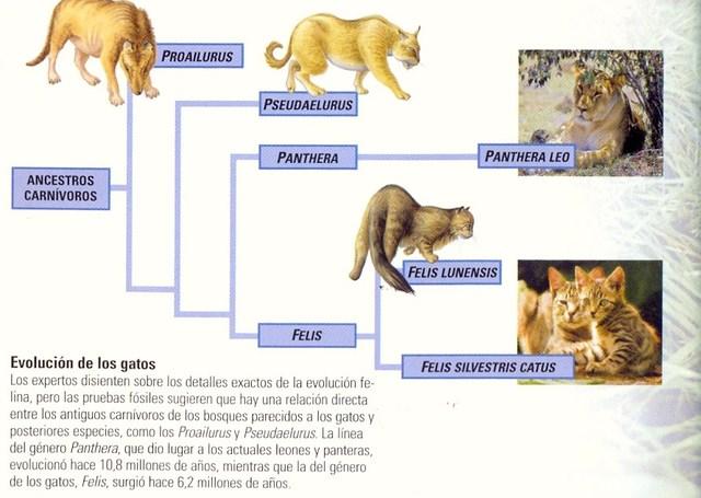 EVOLUCION DE LOS FELINOS DOMESTICOS