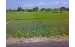 Tanah Sawah dekat Suramadu