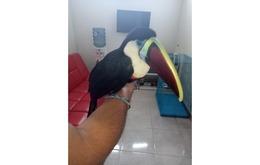 Jual Cepat Burung Eksotis White Throath Toucan Harga Miring