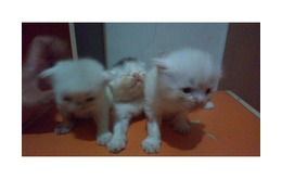 Kitten persia dan himalaya