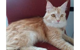 Kucing Mixbreed Mainecoon Persian (Betina) Umur 2 tahun