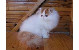 DiJual Kucing Persia Peaknose pesek no cacat dan berkualitas
