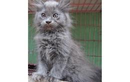 Anak Kucing Persia Kitten