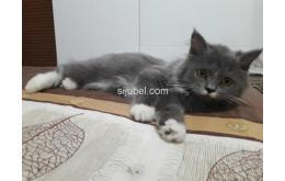 Kitten Mix Angora - Persia Siap Adopsi