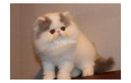 DiJual Kucing Persia Peaknose