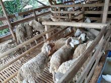 Kambing / domba qurban
