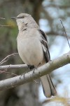 Northern Mockingbird 38246736901