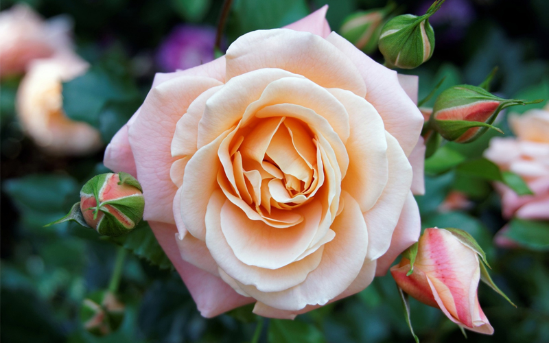 A Gardener's Guide to Growing Roses [Bluprint]