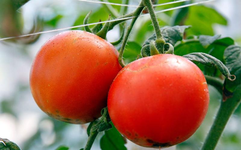 Growing Heirloom Tomatoes [Bluprint]
