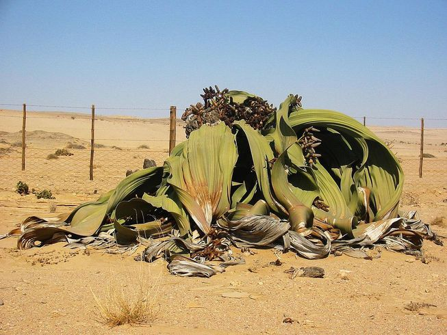 The Welwitschia plant can live up to 1,000 years.