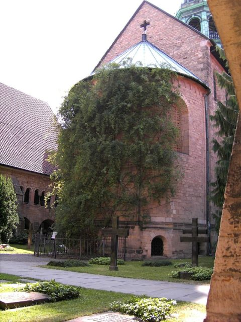 The world's oldest rose is located Hildeshiem Cathedral in Germany and is thought to be over 1,000 years old.