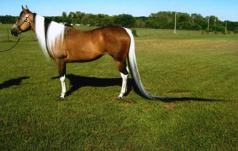 JJS Summer Breeze - The Longest Tail on a Horse