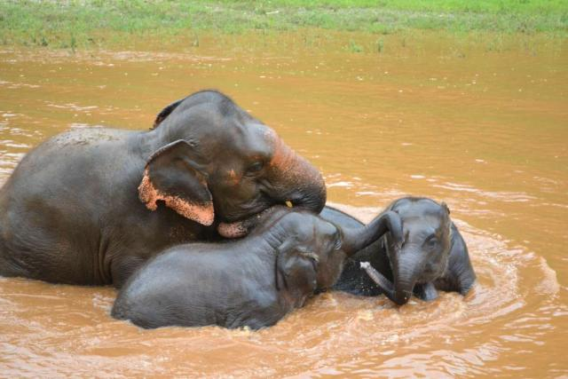 Elephants play in the river as seen by teenage travelers during summer youth travel program in Thailand