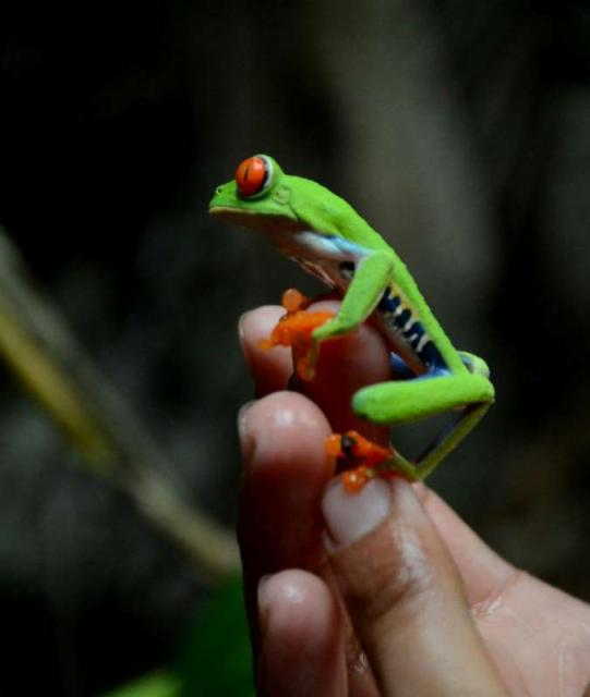 A student holds a tree frog on their teen adventure program in Costa Rica.