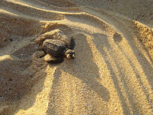 Teens help with the conservation of sea turtles on summer service program in Hawaii.