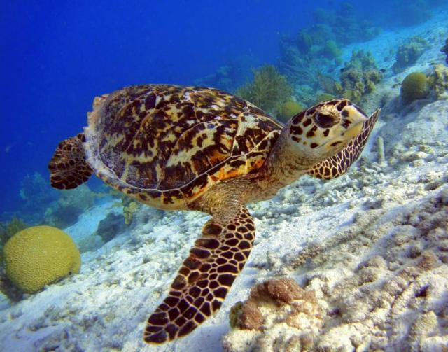 Students swim with sea turtles on summer travel camp program in Hawaii.