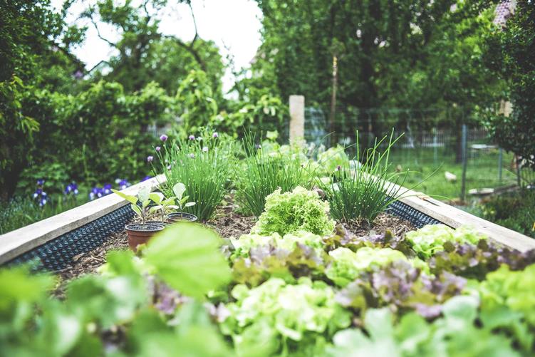 canteiro de horta