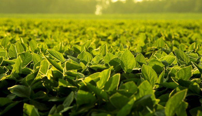 O que fazer para controlar a interferência das plantas daninhas na soja?