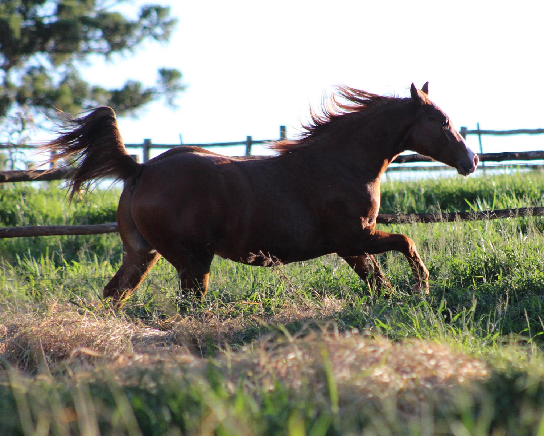 Tipos de andamentos dos cavalos: passo, trote ou marcha, e galope