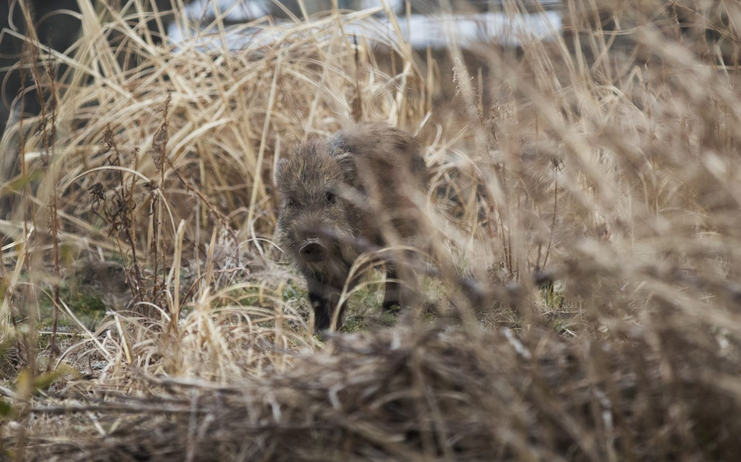 Japanese pigs live on after nuclear disaster