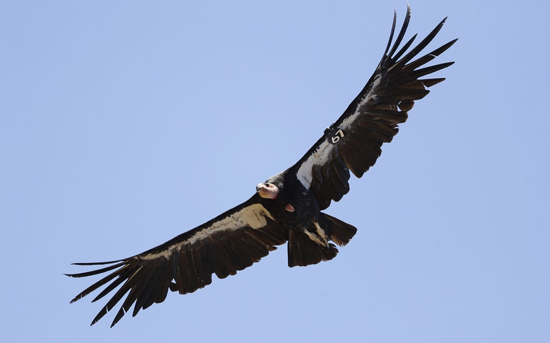 California condors take flight
