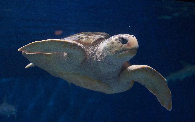 Sea turtles' trans-Pacific journey