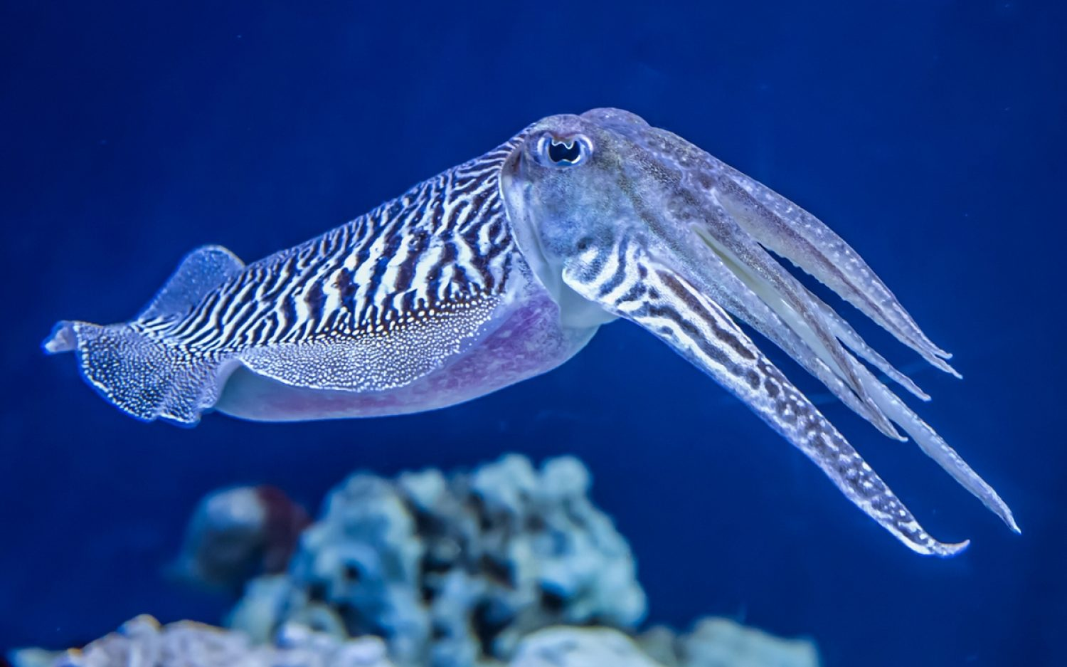 A very patient cuttlefish