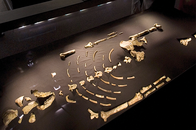 """The fossilized remains of """"Lucy"""" on display at the Houston Museum of Natural Science."""