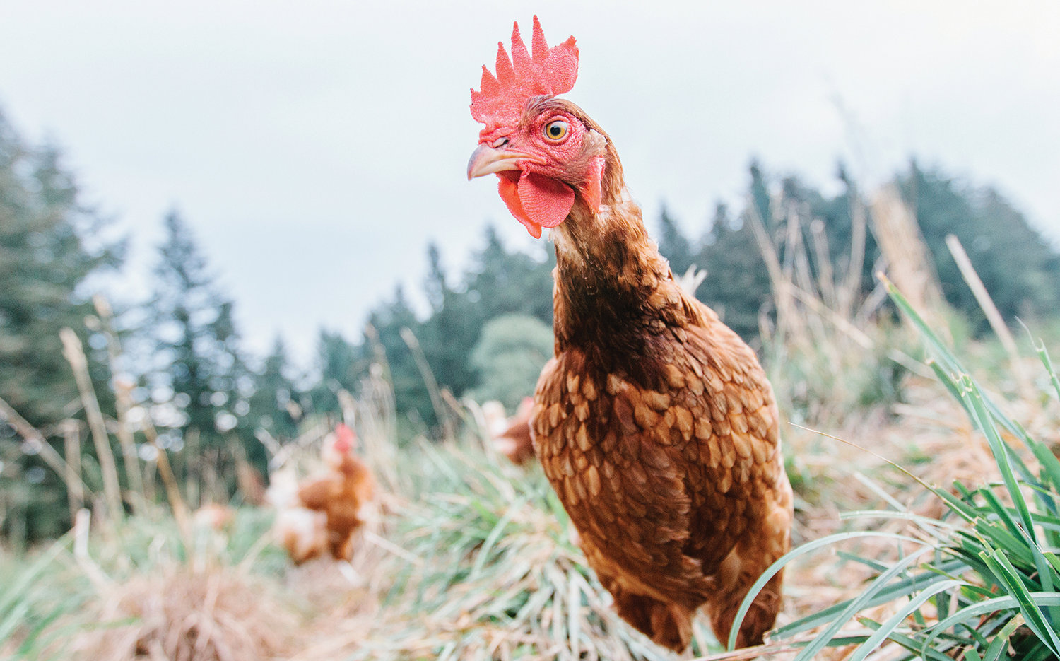 A curious free-range chicken on a small-scale organic farm.