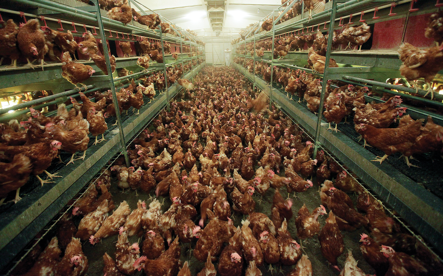 Chickens in a cage-free egg facility in North Manchester, Ind.