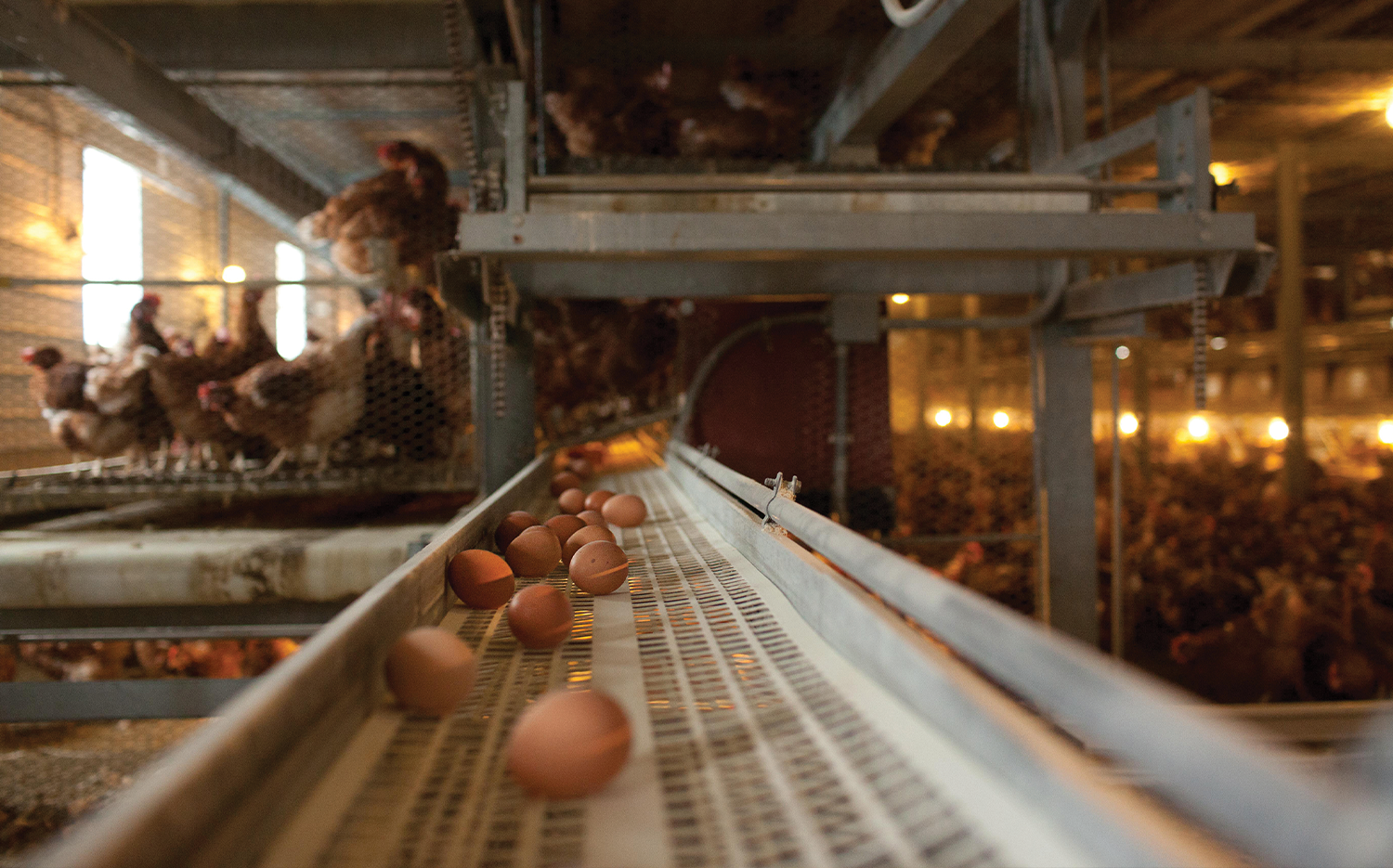 An organic cage-free poultry farm in Lancaster County, Pa.